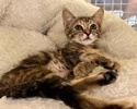 A picture of #ET03500: Freedom a Domestic Short Hair gray marble totrtie