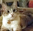 A picture of #ET03502: Halo a Siamese Mix lynxpoint