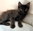 A picture of #ET03504: Brandy a Domestic Long Hair black