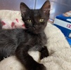 A picture of #ET03505: Bailey a Domestic Long Hair black