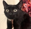 A picture of #ET03508: Meow Meow a Domestic Short Hair black/white
