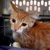 A picture of #ET03509: Mai Tai a Domestic Short Hair orange tabby