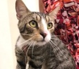 A picture of #ET03510: Lomg Island Ice Tea a Domestic Short Hair gray tabby/white