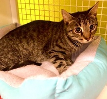 [another picture of Manhattan, a Domestic Short Hair gray tabby\ cat]