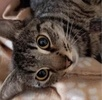 [picture of Manhattan, a Domestic Short Hair gray tabby cat]