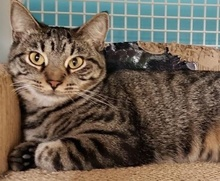 [picture of Manhattan, a Domestic Short Hair gray tabby\ cat]