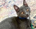 A picture of #ET03512: Bubba a Russian Blue Mix blue