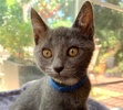 [picture of Bubba, a Russian Blue Mix blue cat]