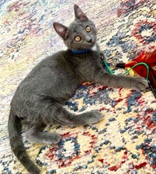 [picture of Bubba, a Russian Blue Mix blue\ cat]