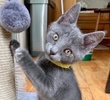 A picture of #ET03514: Xander a Domestic Short Hair blue