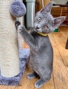 [another picture of Xander, a Domestic Short Hair blue\ cat]