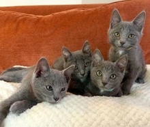 [picture of Xander, a Domestic Short Hair blue\ cat]