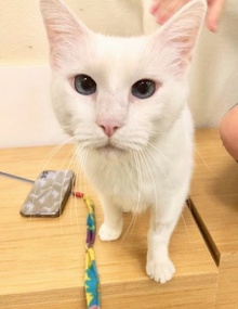[another picture of Adak, a Domestic Medium Hair white\ cat]