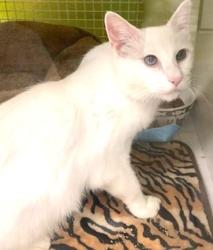 [picture of Adak, a Domestic Medium Hair white cat]