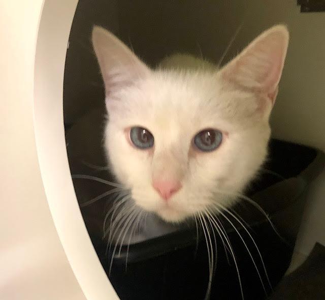 [picture of Adak, a Domestic Medium Hair white\ cat]