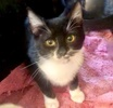 A picture of #ET03519: Bebe a Domestic Short Hair black/white