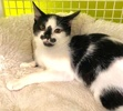 A picture of #ET03520: Fifi a Domestic Short Hair black/white