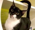 A picture of #ET03522: Moe a Domestic Short Hair black/white