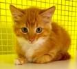 A picture of #ET03524: Jacobean a Domestic Long Hair orange//white
