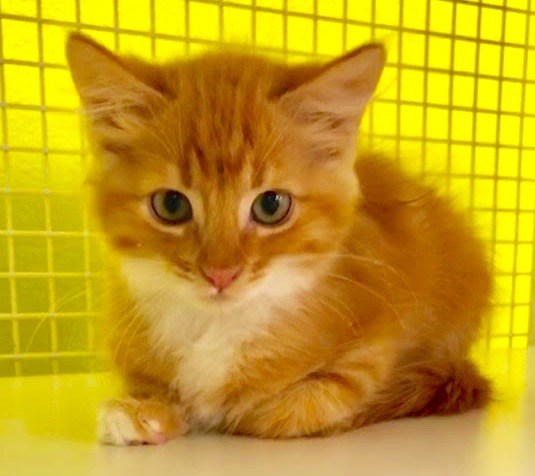 [picture of Jacobean, a Domestic Long Hair orange//white\ cat]