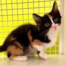 [another picture of Ikat, a Domestic Medium Hair calico\ cat]