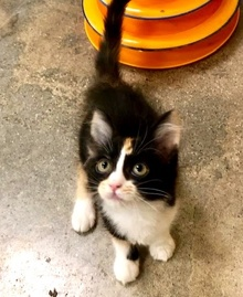 [picture of Ikat, a Domestic Medium Hair calico\ cat]