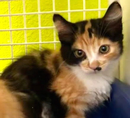 [picture of Paisley, a Domestic Medium Hair calico\ cat]