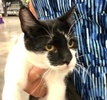 A picture of #ET03627: Kitkat a Domestic Short Hair black/white
