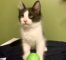 [picture of Chico, a Turkish Angora Mix black/white\ cat]