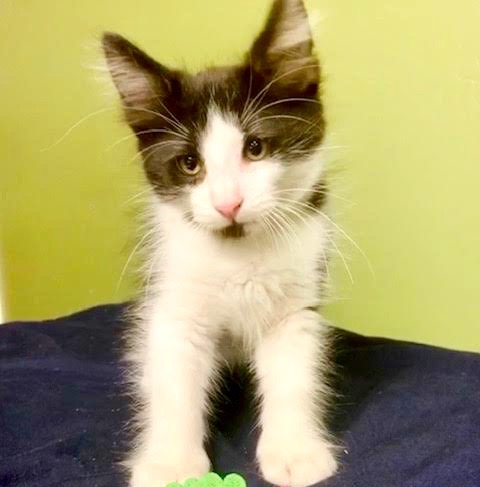 [picture of Diego, a Turkish Angora Mix black/white\ cat]