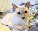 A picture of #ET03631: Lorelai a Siamese Mix bluepoint
