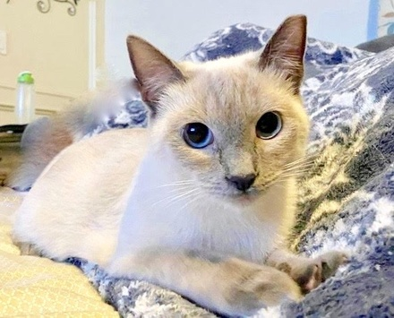 [picture of Lorelai, a Siamese Mix bluepoint\ cat]