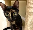 A picture of #ET03632: Ursula a Domestic Short Hair tortie
