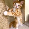 A picture of #ET03634: Max a Domestic Short Hair orange marble