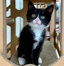 [another picture of Eleanor, a Domestic Short Hair black//white tuxedo\ cat]