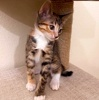 A picture of #ET03636: Olivia AKA Pikachu a Domestic Short Hair calico