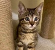 A picture of #ET03637: Grace a Domestic Short Hair marble swirl gray