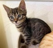 A picture of #ET03638: Santiago a Domestic Short Hair brown tabby