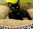 A picture of #ET03639: Sugartoes a Domestic Short Hair black/white