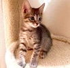 A picture of #ET03640: Becca a Domestic Short Hair silver  tabby