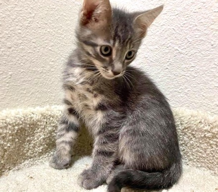 [picture of Walton, a Domestic Short Hair silver tabby\ cat]