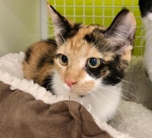 [picture of Katya, a Domestic Short Hair calico\ cat]