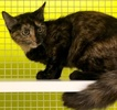 A picture of #ET03646: Roxy a Domestic Short Hair tortie