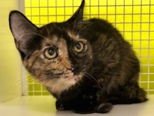 [another picture of Roxy, a Domestic Short Hair tortie\ cat]