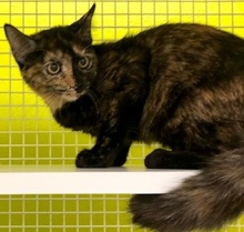 [picture of Roxy, a Domestic Short Hair tortie\ cat]