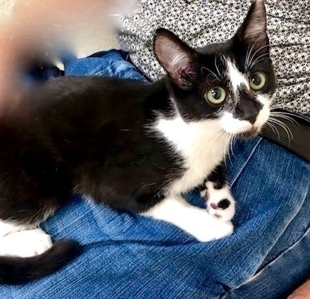 [picture of Clara, a Domestic Short Hair black/white\ cat]