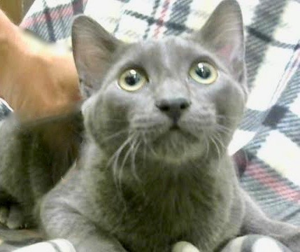 [picture of Leesha, a Domestic Short Hair blue\ cat]
