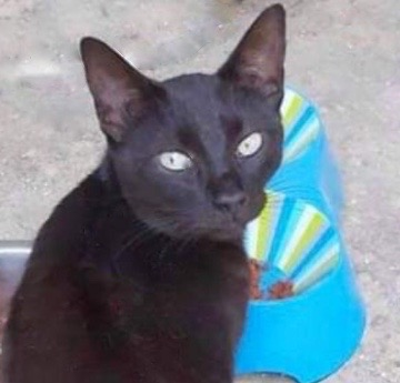 [picture of Pepper, a Domestic Short Hair black\ cat]