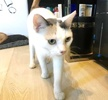 A picture of #ET03652: Melodee a Turkish Van Mix calico