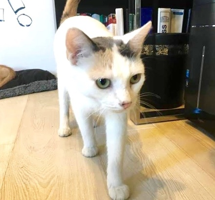[picture of Melodee, a Turkish Van Mix calico\ cat]